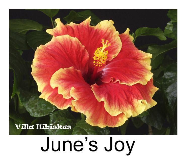 hibiskus sorten liste rosa sinensis zimmerhibiskus 1 bis m auch eigene blaue z chtungen