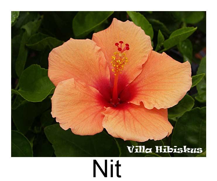 hibiskus fotos rosa sinensis zimmerhibiskus n bis z. Black Bedroom Furniture Sets. Home Design Ideas