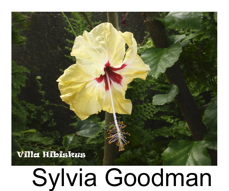 galerie der im handel erh ltlichen pflanzen hibiskus sylvia goodman. Black Bedroom Furniture Sets. Home Design Ideas