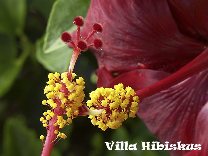 hibiskus vermehrung durch samen rosa sinensis zimmerhibiskus s mlinge kreuzungen villa. Black Bedroom Furniture Sets. Home Design Ideas