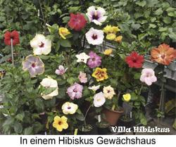 hibiskus pflege rosa sinensis zimmerhibiskus in deutschland so geht es richtig schneiden. Black Bedroom Furniture Sets. Home Design Ideas