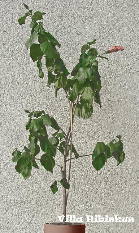 hibiskus pflege rosa sinensis zimmerhibiskus in. Black Bedroom Furniture Sets. Home Design Ideas
