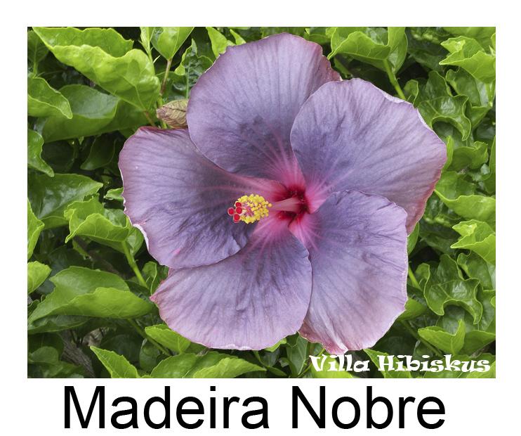 hibiskus eigene zuchten rosa sinensis auch blaue bl ten zimmerhibiskus villa hibiskus madeira. Black Bedroom Furniture Sets. Home Design Ideas