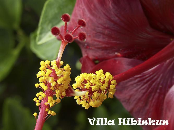 hibiskus vermehrung durch samen rosa sinensis. Black Bedroom Furniture Sets. Home Design Ideas