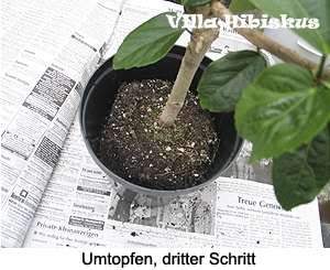 Berühmt Hibiskus-Pflege, rosa sinensis, Zimmerhibiskus, in Deutschland, so GO11